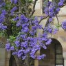 Bloomin' jacarandas set to cause havoc with UQ exam results