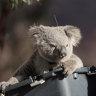 A koallective noun for koalas? A torpor, a caramelli, a barilaro?