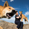 The wonder of Wandi, a baby dingo that fell from the sky