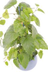 Georgiadis says the Australian native kangaroo vine makes a good indoor plant.