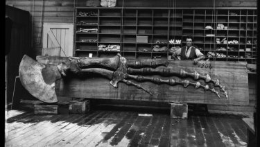 Henry Barnes' brother Robert the museum's carpenter with skeleton flipper of a Humpback whale found Little Bay in Sydney in 1873.