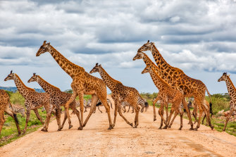 New research shows giraffes care for family members in a manner like the most complex animal social networks.