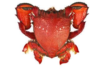 A spanner crab.