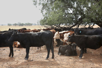 Australian cattle command a premium price in Asian markets.
