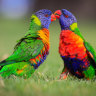 Up before the beak, man gets $15,000 fine for shooting 19 lorikeets