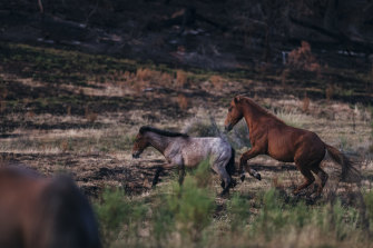 The number of brumbies has soared.