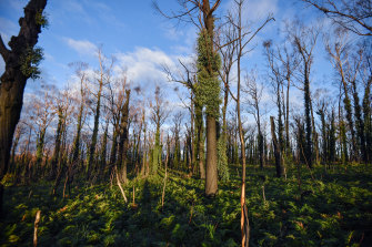 Forest regrowth at Wairewa six months after the east Gippsland fires.