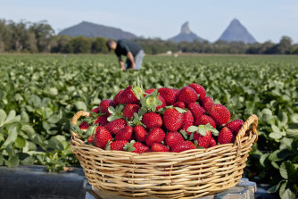 People are being urged to consider a job picking or packing strawberries in Queensland.