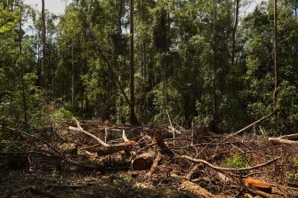 Forestry operations in the Lower Bucca State Forest, near Coffs Harbour, northern NSW. The EPA sought to limit logging in the forest after nearby bushfires but were overruled by John Barilaro, who is the minister in charge of forests.