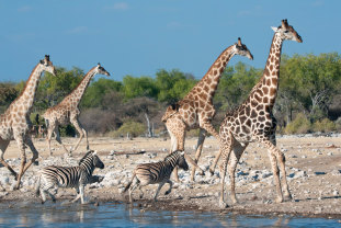 The plan paves the way for regulation of the international trade in giraffes.