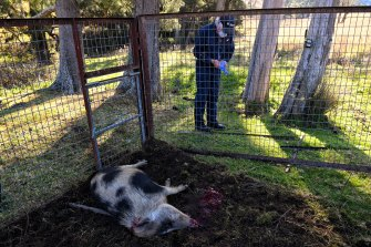 The feral pig despatched by Local Land Services to prevent spead of disease and damage to farms.