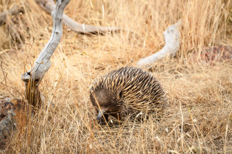 An echidna on the property.