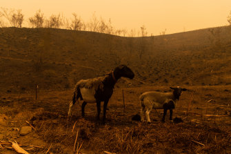 Livestock in Cobargo, NSW, which was devastated by bushfires last week.