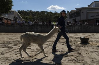 Alpaca herding was a challenge in the competition.