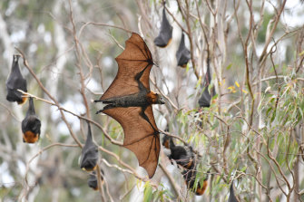 Bats at Yarra Bend on Tuesday.