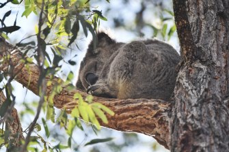 The release of the NSW government's Koala Habitat Information Base is expected to provide a guide to developers and councils to help protect the much-loved marsupial.