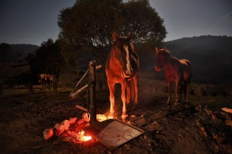 Brumbies warm themselves by a campfire at Blue Waterholes in the northern Kosciuszko National Park.