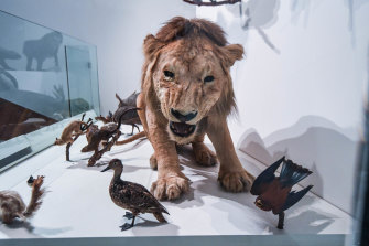 A taxidermied lion, part of the Melbourne Museum animal exhibit, <i>Wild.