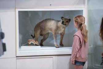 A Tasmanian tiger at the museum also appears to have a curious expression.