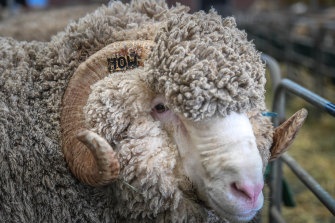 A sheep belonging to the Dewar family, pictured at the Australian Sheep and Wool Show in Bendigo.