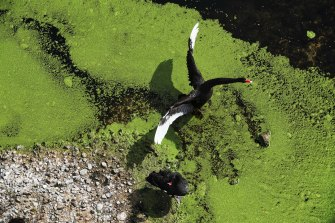 A black swan takes wing in the main pond of the Brickpit at Sydney Olympic Park. Authorities say some 27 species of birds are found in the park.