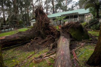 Two massive trees uprooted in Hillary Morris' home in Sherbrooke.