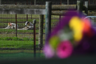 Greyhound dogs are seen behind flowers laid by a mourner at the property of Greyhound trainer Karen Leek in Devon Meadows the day after he body was found.