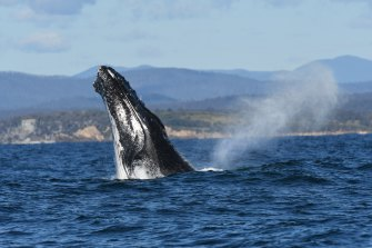 One of the humpback whales in a large pod off Cuttagee Beach near Bermagui on the NSW South Coast.