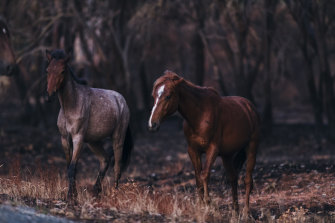 Feral horses in a section of the Kosciuszko National Park last January, which was severely affected by the recent bushfires.