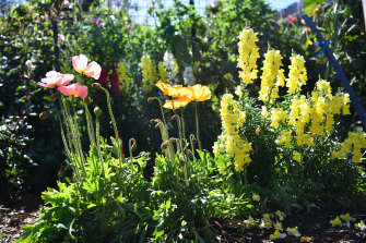Poppies and snapdragons in the Mackenzies' garden