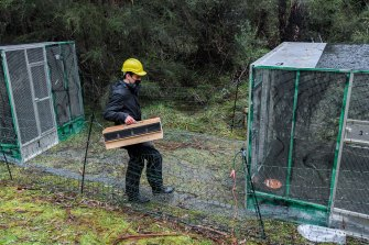 Nick Bradsworth, a Zoos Victoria helmeted honeyeater field officer places a group of wild birds into an aviary.
