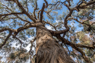 This yellow box, with its serpentine branches, was called a directions tree by some of the Djab Wurrung. They believe it grew from a seed mixed with the placenta of an ancestor centuries ago.