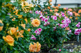 Roses in the Morwell Centenary Rose Garden will be in full bloom for the upcoming festival.