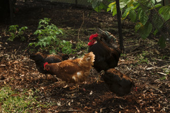 You need only two to four chooks in a backyard.