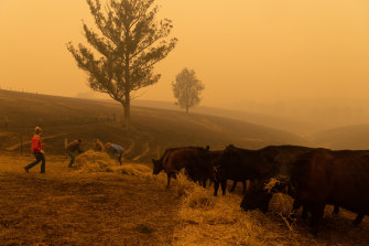The Evans family feeds their surviving cattle. The morning before, all the hills around their property were covered in flames.