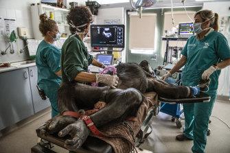 Kuma undergoes an ultrasound during her check-up.