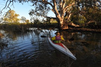 Peter Berney, from the NSW National Parks and Wildlife Service, guides his kayak through lignum in the Narran Lakes.