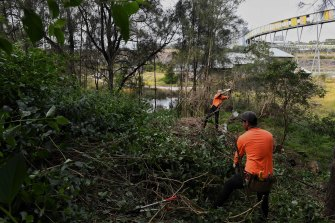 Workers at Sydney Olympic Park remove some of the last of the lantana, an invasive weed that has taken a 14-year removal effort.