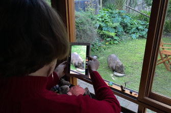 Jackie French photographs a wombat visiting her property at dusk.