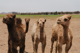 Camels at Piercefield Pastures in the Hunter Valley during the drought.