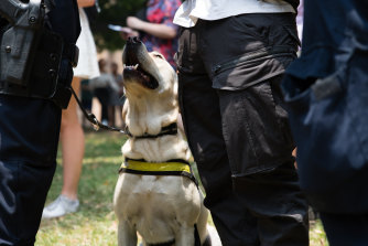 A police drug dog on duty at a Sydney music festival this year.