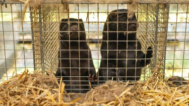 Minks in cages on a farm in Gjol, Denmark.