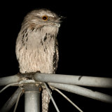 A tawny frogmouth sitting atop a Hills Hoist clothesline in a suburban backyard.