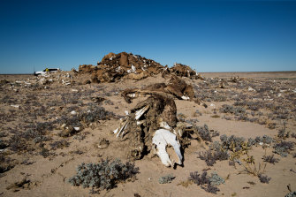 "A pile of dead cattle not far from one of the ""tanks"" or small dams on Narriearra."