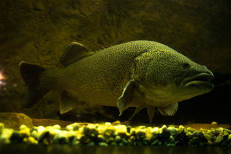 The Murray cod is one Australian species, along with silver perch and Australian bass, that evolved to migrate long distances in the country's waterways - a life plan that has been made much more difficult by dams and other obstructions.