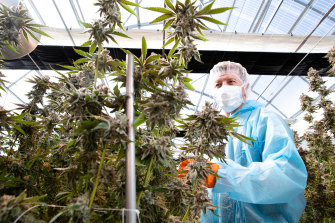 Australian Natural Therapeutics Group CEO, Matthew Cantelo, surrounded by cannabis that is about to be harvested.