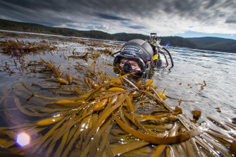 Giant kelp expert Dr Cayne Layton conducting field work at Fortescue Bay.