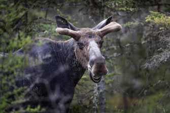Canadian authorities are warning drivers not to let moose lick their cars.
