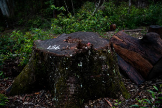 The stump of a likely brushbox tree felled in the Wild Cattle Creek State Forest on the Dorrigo Plateau in northern NSW. The painted number may indicate that the tree is among those being investigated by the Environment Protection Authority for being in breach of logging rules.