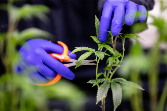 A worker on the first farm licenced in NSW to produce medicinal cannabis prunes a plant.